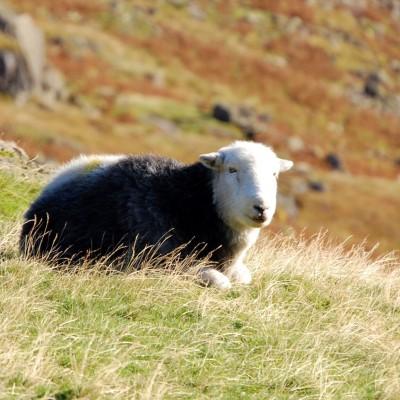 湖区羊 - Herwick